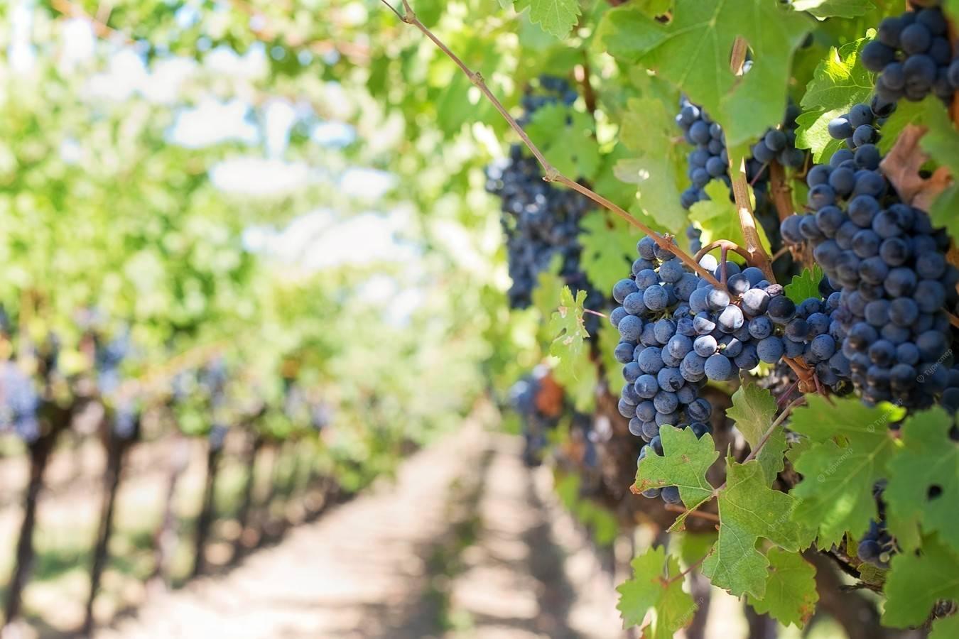 Экскурсия винодельни Напы и Сономы